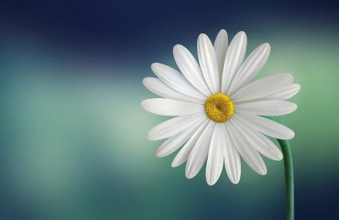 marguerite-daisy-beautiful-beauty-1